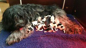 Mama Hogie met de puppies!